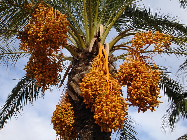Palmier: bienfaits et effets secondaires du pollen de palmier.