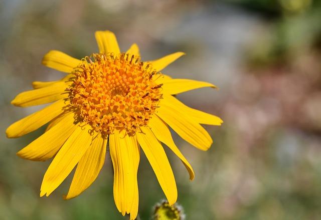 Arnica en fleur: élixir floral élaboré selon les recommandations du docteur Erdward Bach.