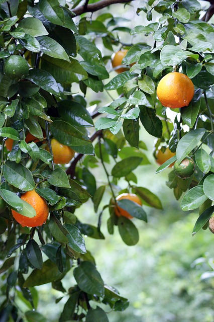 Oranges du Neroli bigarade: l'huile essentielle de Néroli en est extraite.