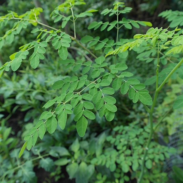 Feuilles de Moringa: bienfaits, posologie et effets secondaires de cette plante.