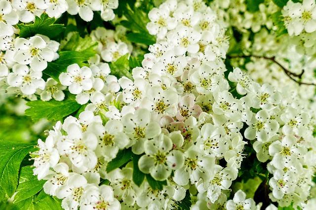 Aubépine en fleur: élixir floral élaboré selon les recommandations du docteur Erdward Bach.