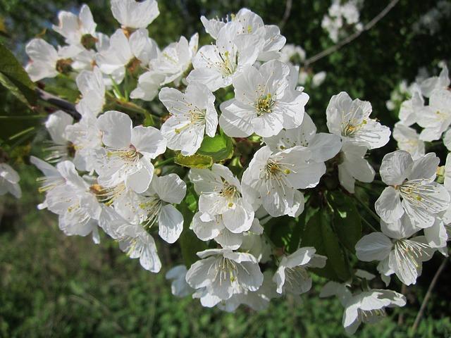 Cerisier en fleur: bienfaits du pollen de cerisier sur l'organisme.