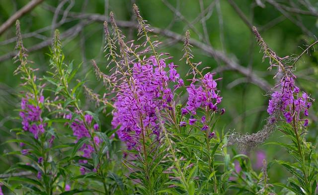Epilobe en fleur: élixir floral élaboré selon les recommandations du Dr. Bach.