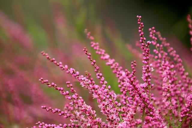 Bruyère en fleur: rôles et propriétés du pollen de bruyère.