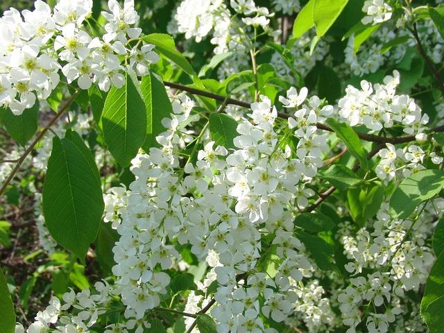 Cerisier sauvage en fleur: élixir élaboré selon les recommandations du docteur Erdward Bach.