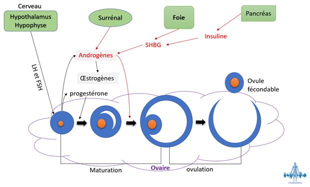 Schéma représentant le processus de maturation des ovules dans les ovaires.