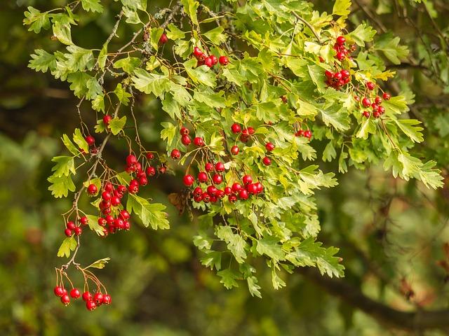 Fruits de l'aubépine: bénéfices du pollen d'aubépine sur la santé.