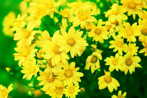 Chrysantellum (Chrysanthellum) en fleur: bienfaits, posologie et effets secondaires de la plante.