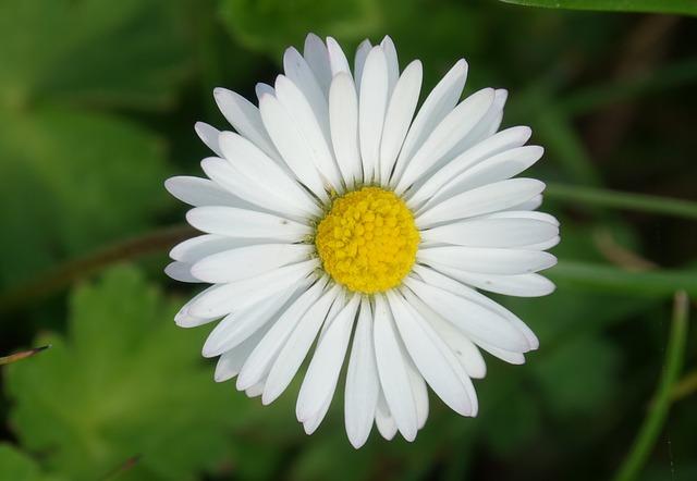 Pâquerette dans un pré: élixir floral, élaboré selon les recommandations du docteur Erdward Bach.
