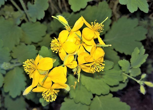 Chélidoine en fleur: élixir floral élaboré selon les recommandations du Dr Bach.