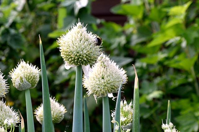 Oignon en fleur: élixir floral élaboré selon les recommandations du docteur Erdward Bach.