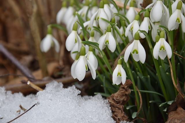 Perce-neige en fleur: élixir floral élaboré selon les recommandations du laboratoire Deva.