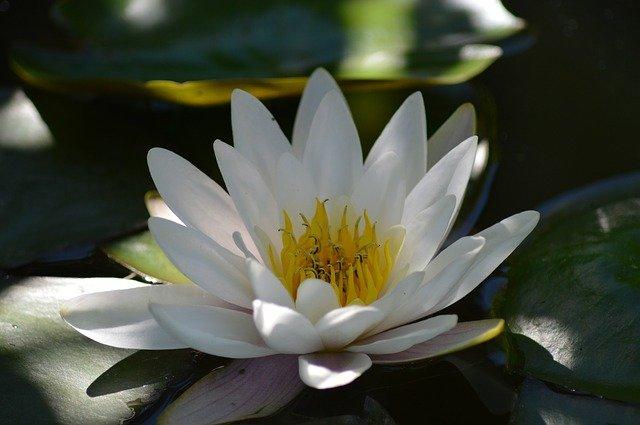 Nénuphar blanc en fleur: élixir floral élaboré selon les recommandations du Dr Bach.
