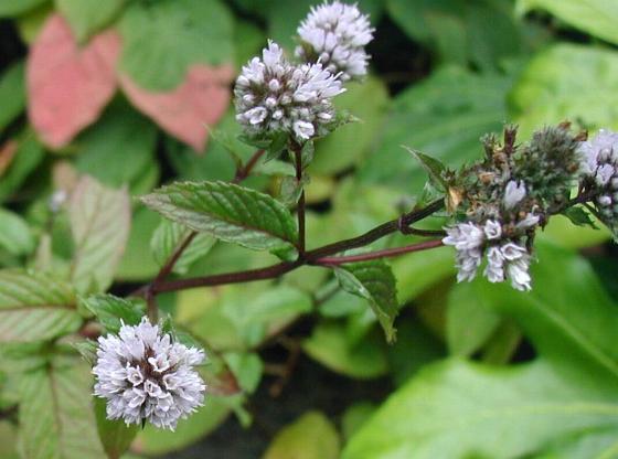 Menthe poivrée en fleurs: élixir floral recommandé par le laboratoire Deva.