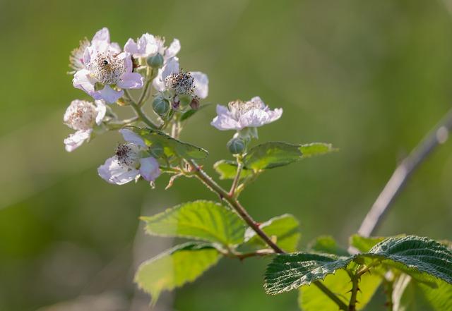 Mûre sauvage en fleur: élixir floral élaboré selon les recommandations du docteur Bach.