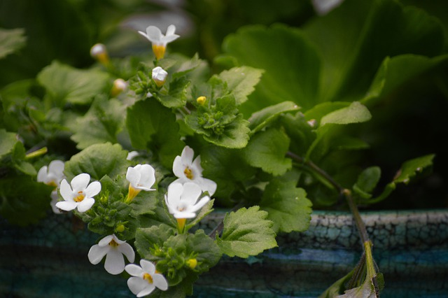 Photo de bacopa monnieri: bienfaits, dosage et danger de cette plante.