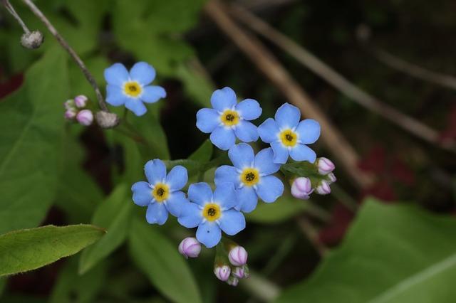 Myosotis en fleur: élixir floral élaboré selon les recommandations du Dr Bach.