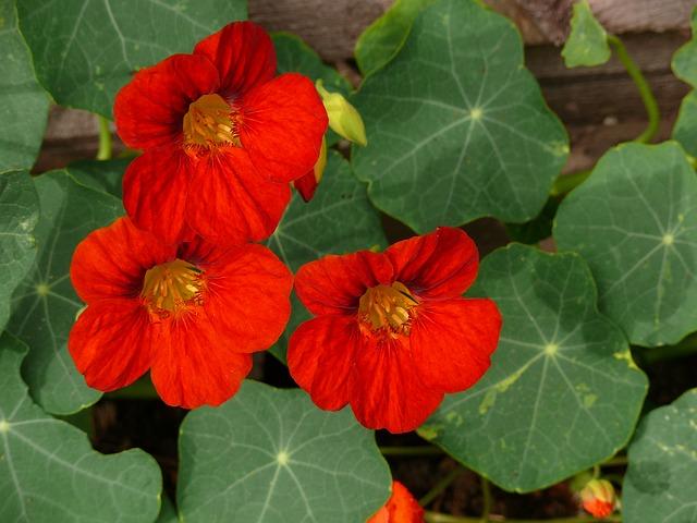 Capucine en fleur: élixir floral élaboré selon les recommandations du docteur Bach.