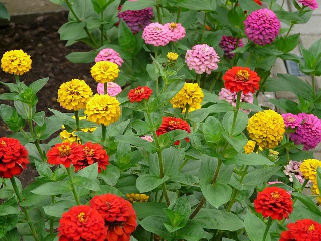 Zinnia en fleur: élixir floral élaboré selon les recommandations du docteur Bach