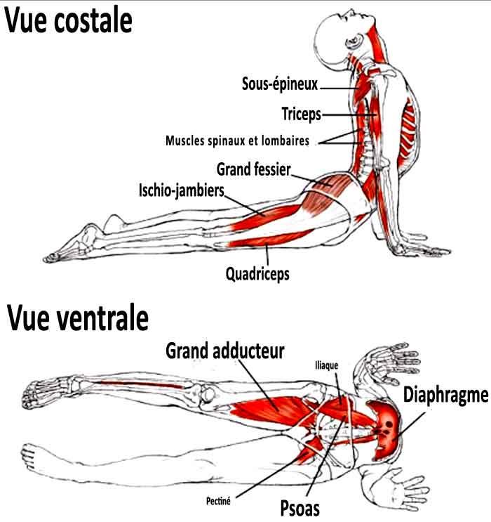 Posture du chien en yoga: permet de soulager le mal de dos.