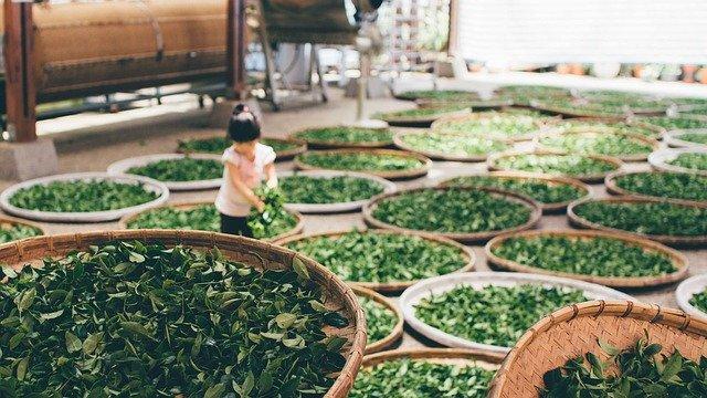 Feuilles de thé: avis sur la L-théanine extraite de ces feuilles.