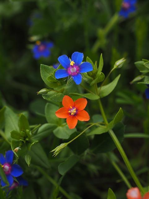 Mouron des champs en fleur: élixir floral élaboré selon les recommandations du docteur Bach.