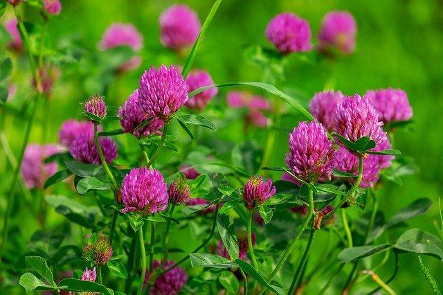 Trèfle rouge en fleur: élixir floral élaboré selon les recommandations du docteur Bach.