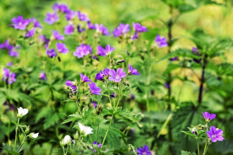 Géranium en fleur : bienfaits et utilisation de l'hydrolat.