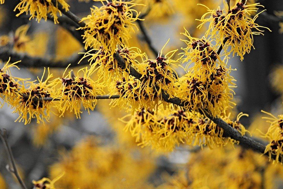 Hamamélis en fleur : bienfaits et utilisation de cet hydrolat.