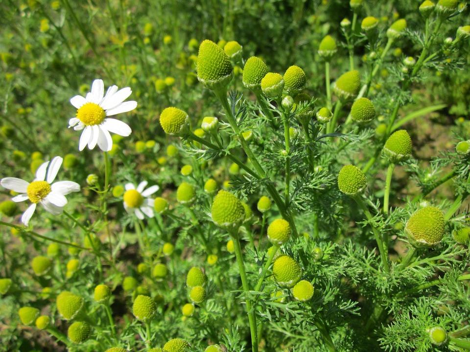 Camomille matricaire en fleur : propriétés et utilisation de l'hydrolat.