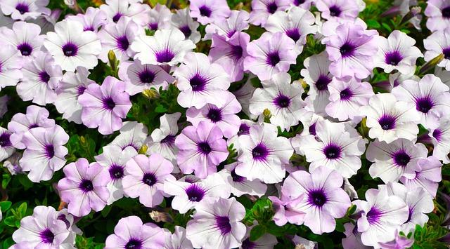 Pétunia en fleur: élixir floral élaboré selon les recommandations du Dr Bach.