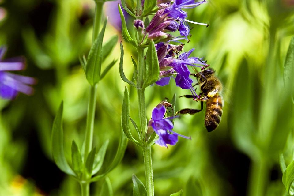 Hysope officinale en fleur : bienfaits et utilisation de l'hydrolat.
