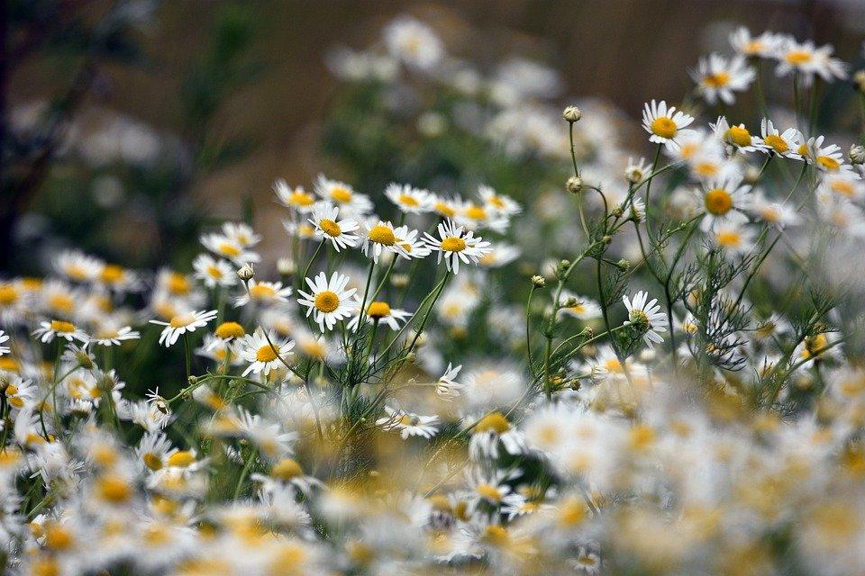 Camomille romaine en fleur : bienfaits et utilisations de l'hydrolat.