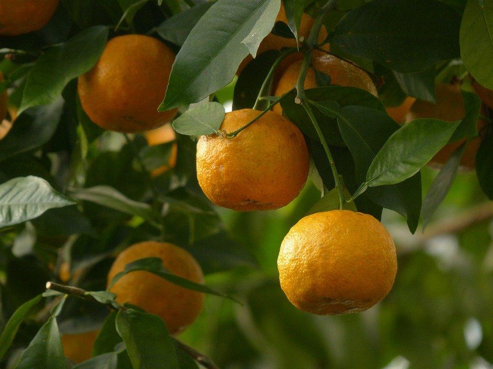 Oranges sur un arbre : vertus et utilisation de l'hydrolat de fleur d'oranger.