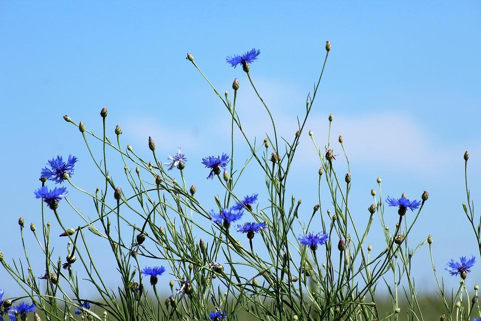 Bleuet en fleur : bienfaits et utilisation de l'hydrolat.