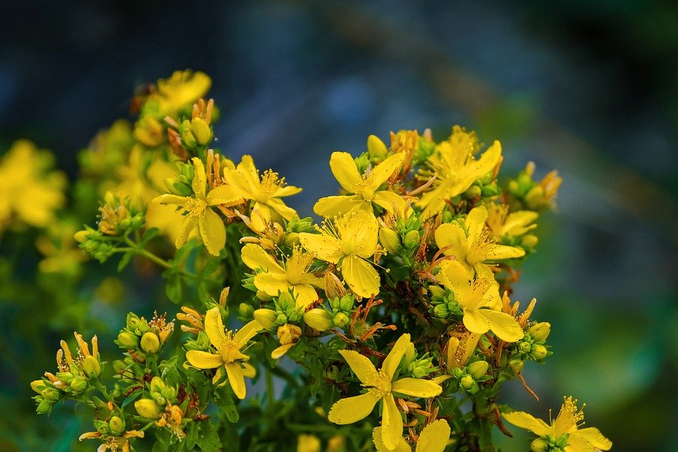 Millepertuis en fleur : bienfaits et utilisation de l'hydrolat.