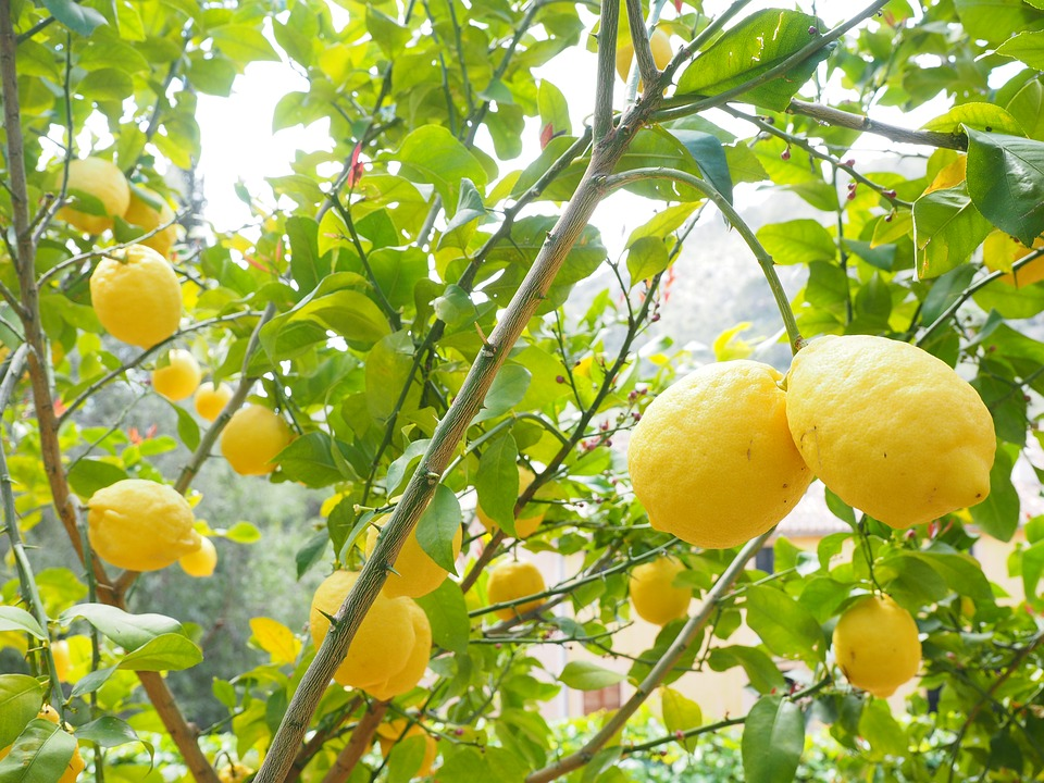 Citronnier : bienfaits de l'hydrolat de citron.