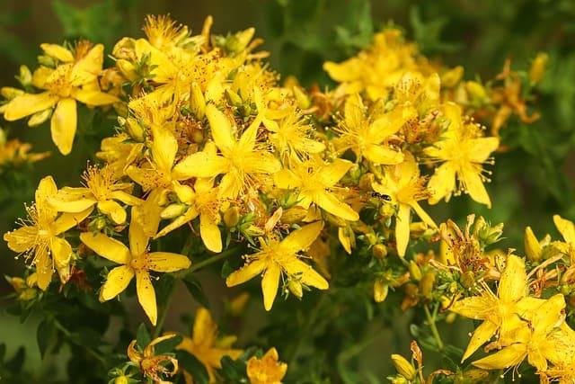 Millepertuis en fleur : élixir floral élaboré selon les recommandations du docteur Bach.