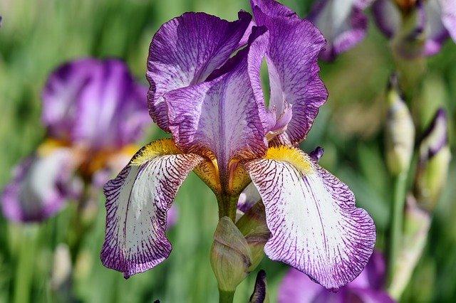 Iris en fleur : élixir floral élaboré selon les recommandations du Docteur Bach.