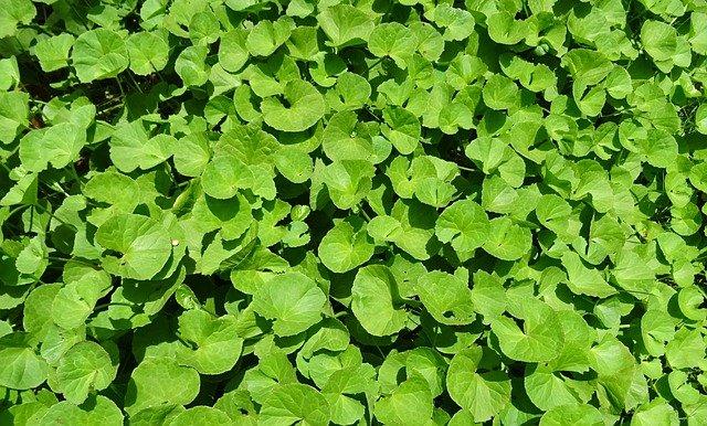 Feuilles de Centella asiatica : plante qui présente de nombreux bienfaits.