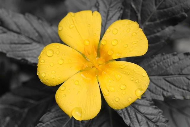 Fleur de Damiana : effets, dosage et risques de cette plante.