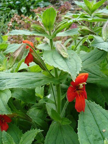 Mimulus écarlate en fleur : élixir floral élaboré selon les recommandations du docteur Bach.