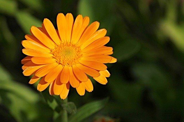 Calendula en fleur : élixir floral élaboré selon les recommandations du docteur Bach.