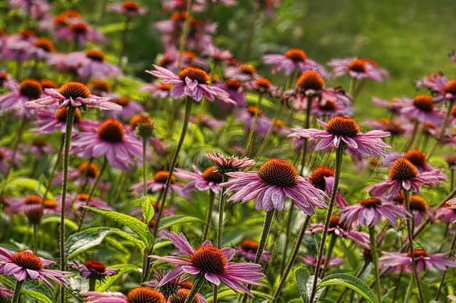 Echinacée en fleur : bienfaits, posologie et contre-indications de cette plante.