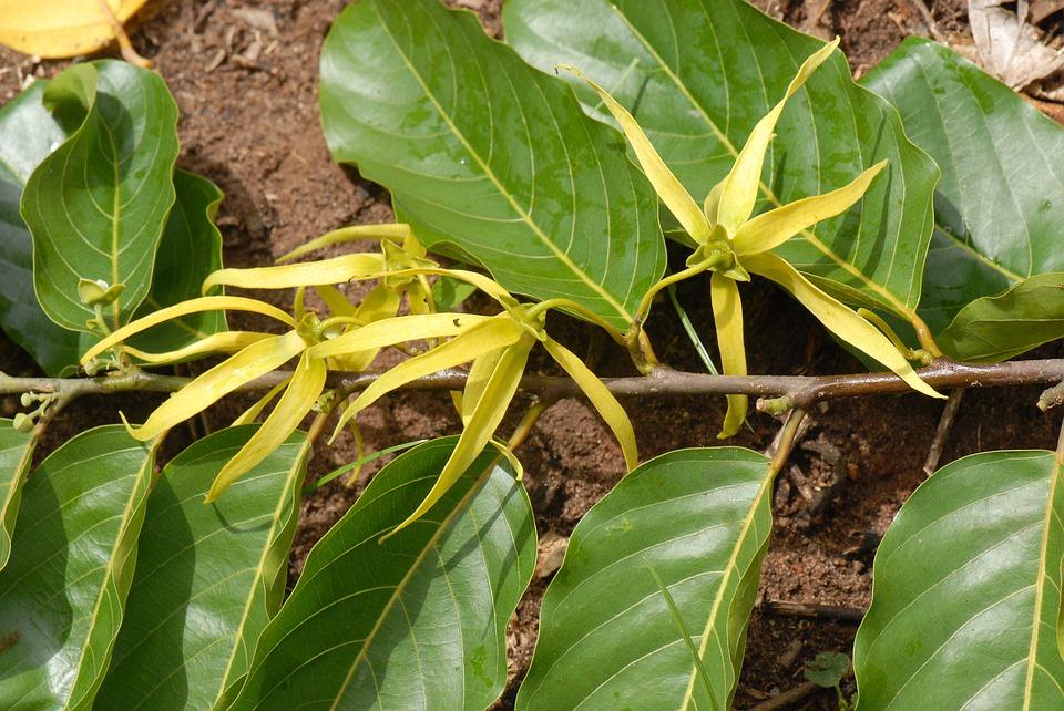 Ylang-ylang : bienfaits et utilisation de l'hydrolat.