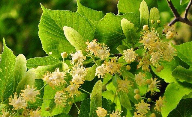 Fleurs de tilleul : élixir floral élaboré selon les recommandations du docteur Bach.