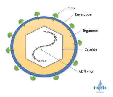 Schéma du virus herpès simplex.