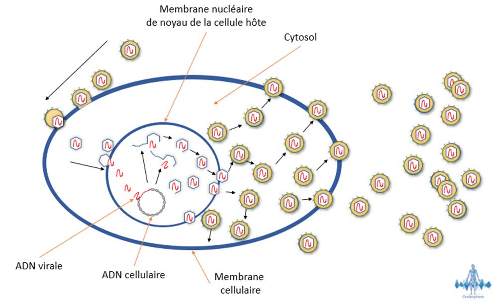 Schéma de la réplication de l'herpès simplex.