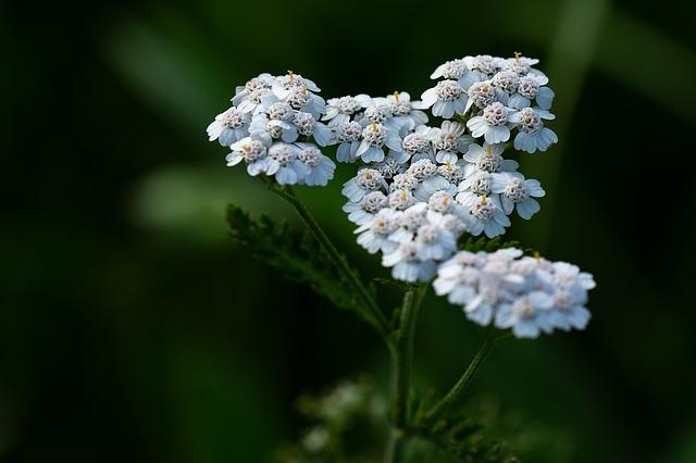 Achillée en fleur : élixir floral élaboré selon les recommandations du docteur Bach.