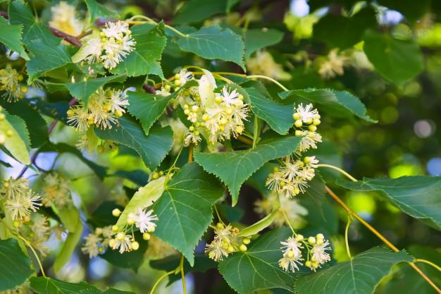 Tilleul en fleur : bienfaits et utilisation de l'hydrolat.